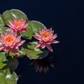 Small lotus 1794488 1920