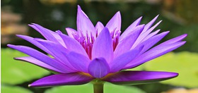 Big water lily 1585178 1920